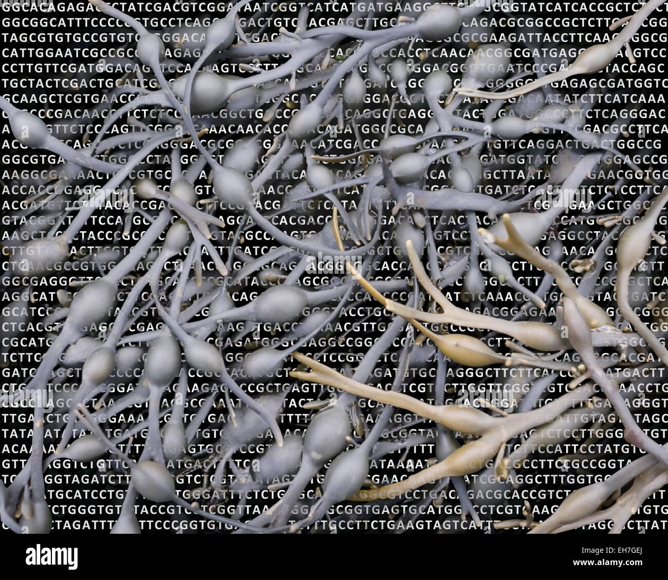 Seaweed and its DNA - Stock Image