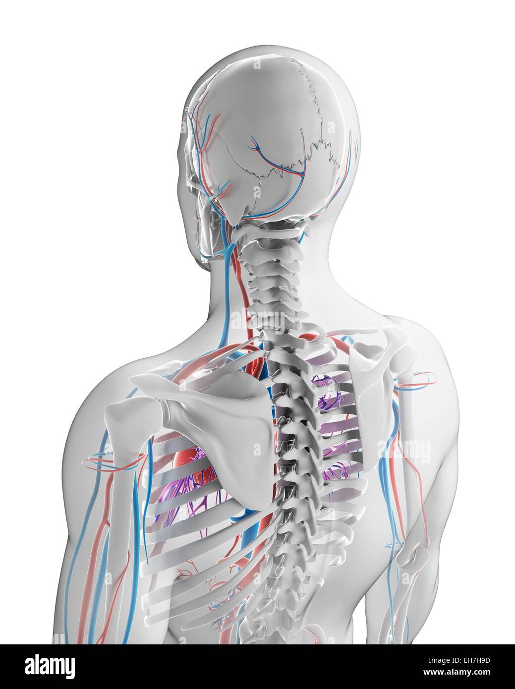 Human Vascular Neck Computer Illustration Stock Photos & Human ...