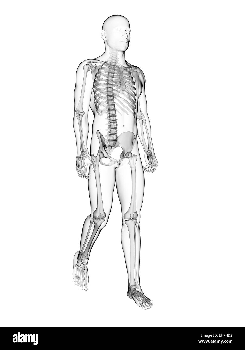 Human Skeletal System Black And White Stock Photos Images Alamy
