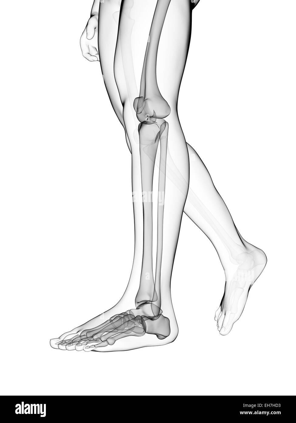 Human Leg Bones Illustration Stock Photo 79457983 Alamy
