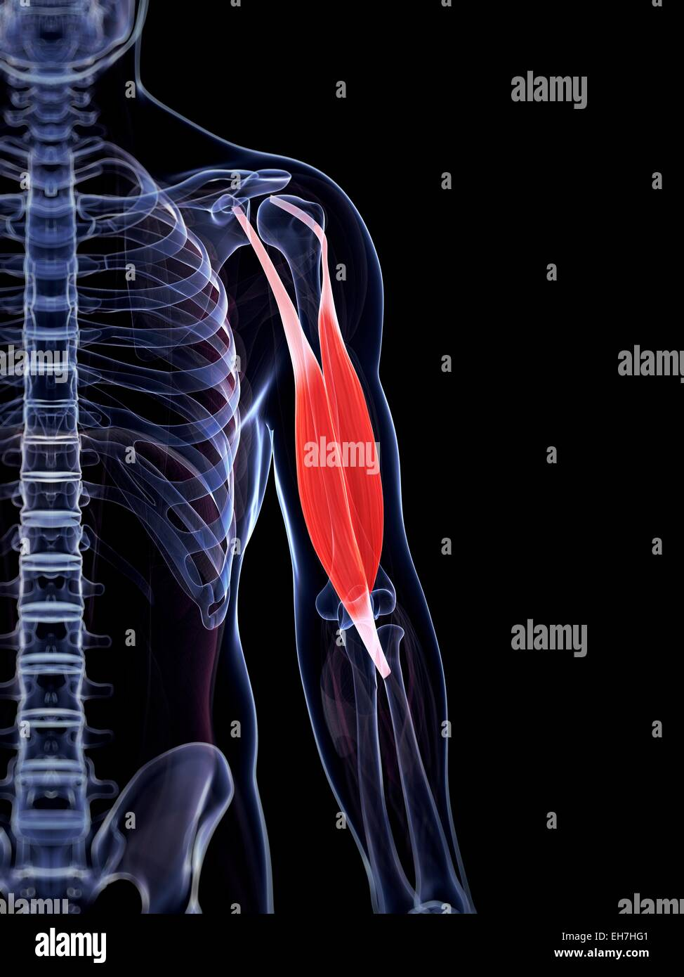 Human biceps, illustration - Stock Image