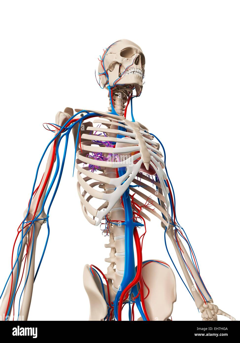 Human Vascular System Illustration Stock Photo 79458074 Alamy