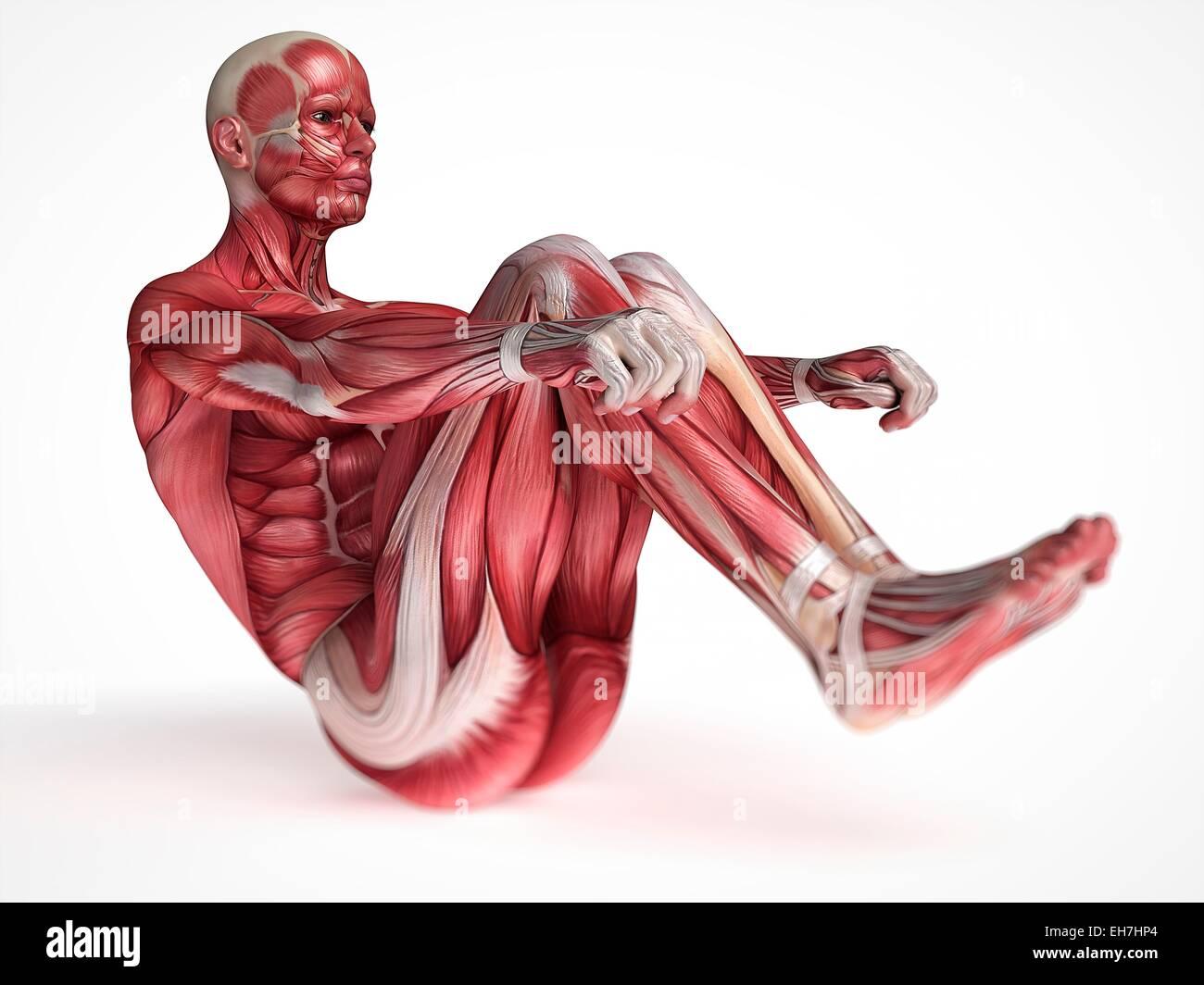 Human Muscular System And Stretching Stock Photos Human Muscular