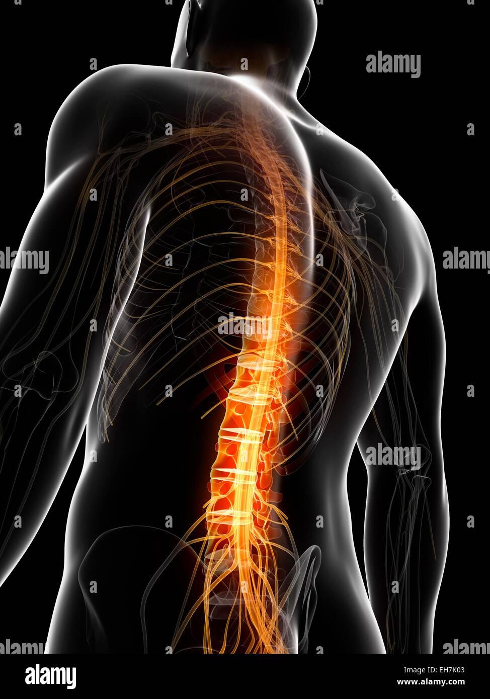 Human Spinal Cord Stock Photos Human Spinal Cord Stock Images Alamy