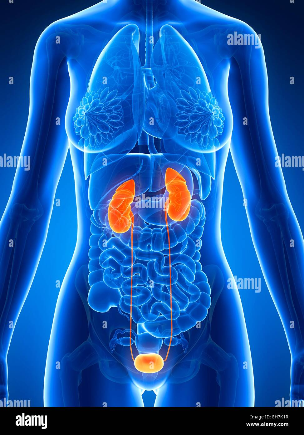 Female Urinary System Illustration Stock Photo 79459235 Alamy