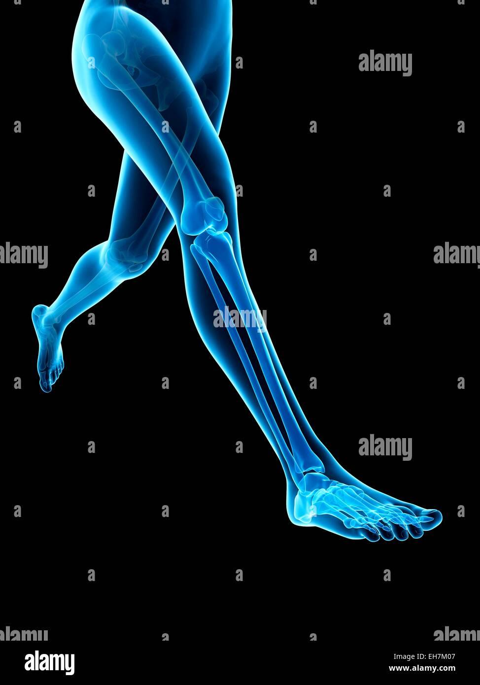 Human Leg Bones Illustration Stock Photo 79459975 Alamy