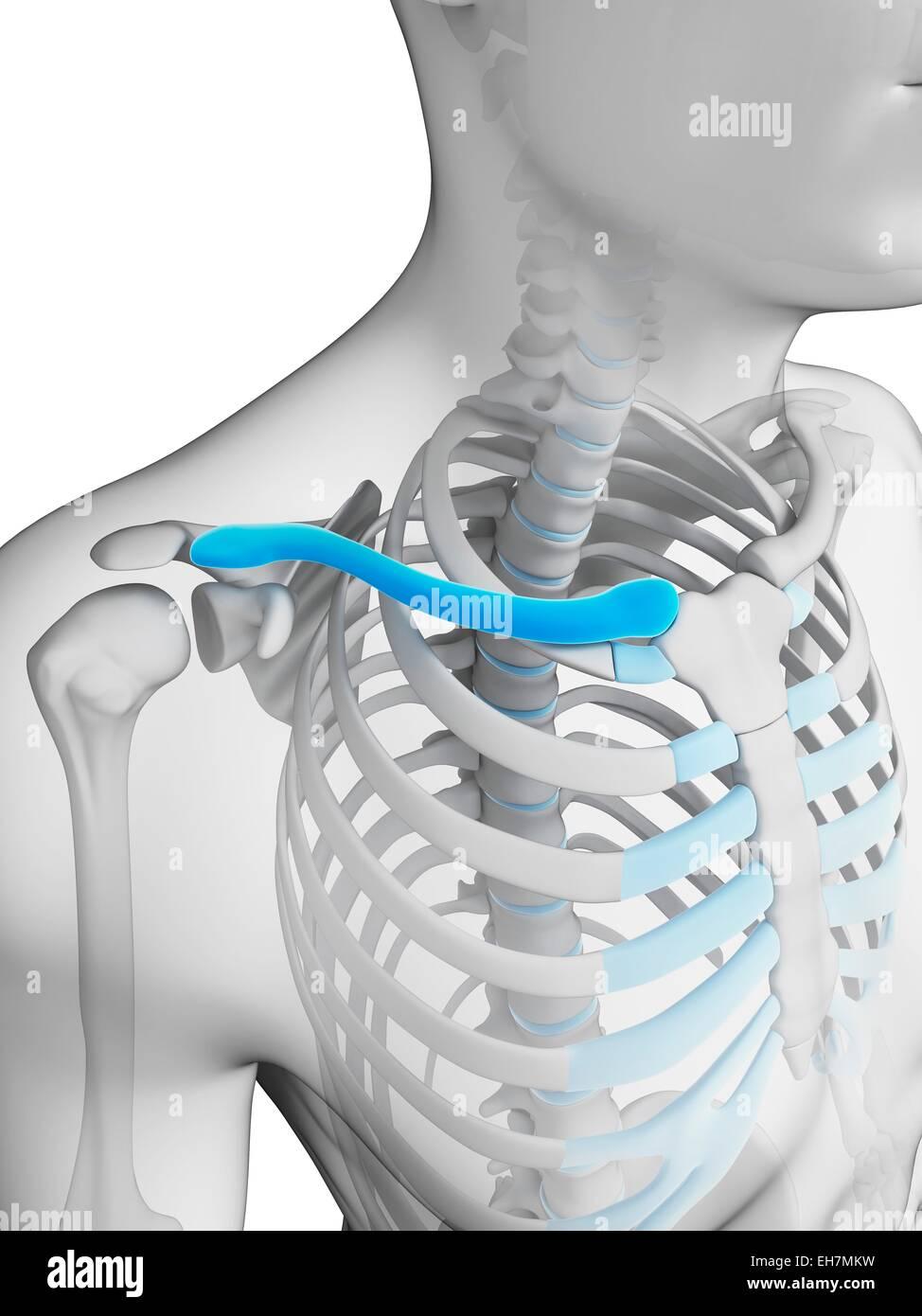 Human Collar Bone Stock Photos Human Collar Bone Stock Images Alamy