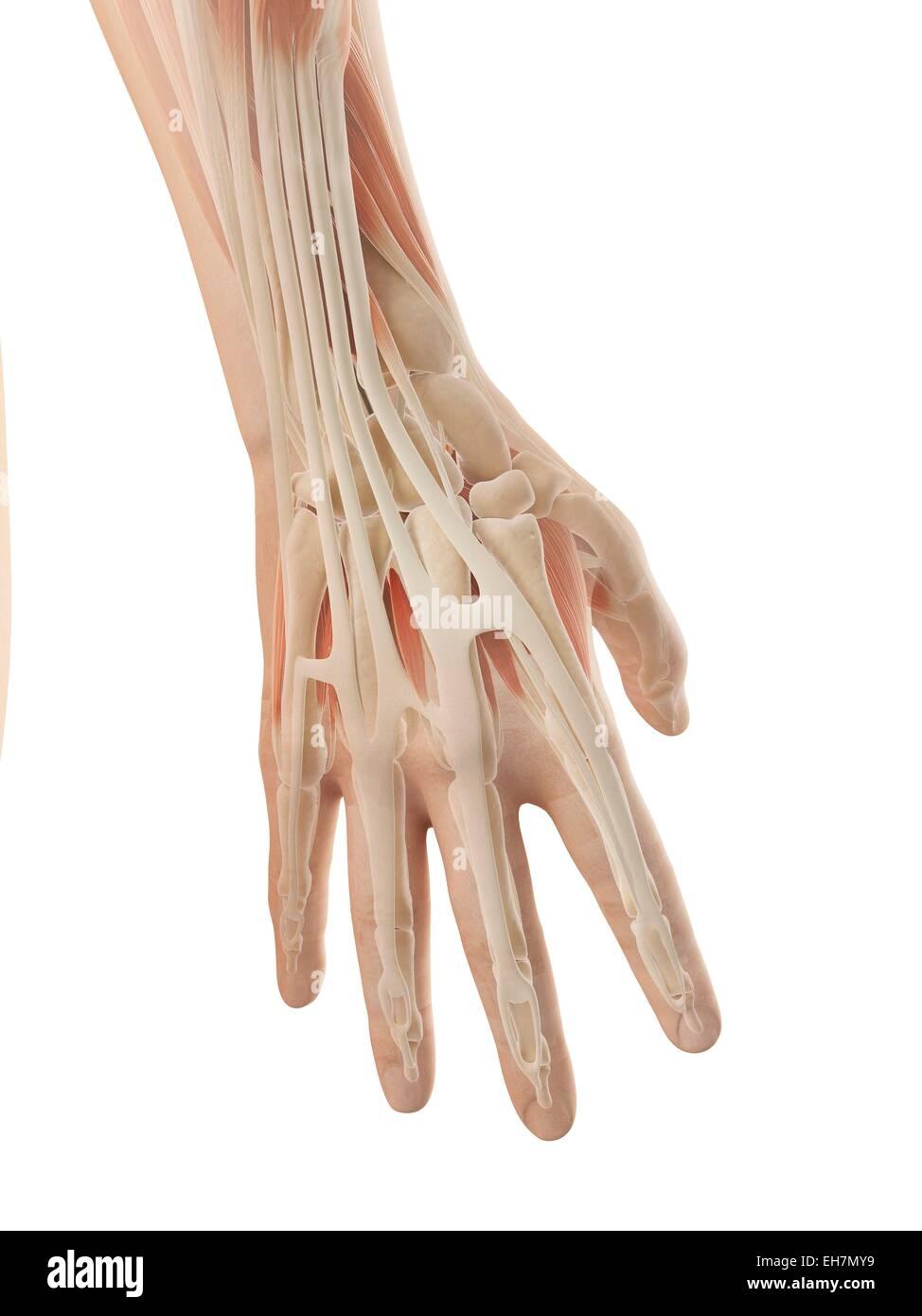 Human Fingers Anatomy Stock Photos Human Fingers Anatomy Stock