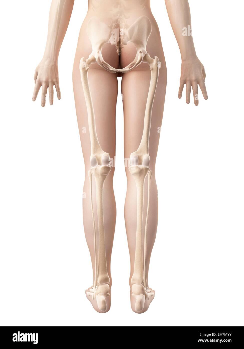 Human Leg Bones Illustration Stock Photo 79460751 Alamy