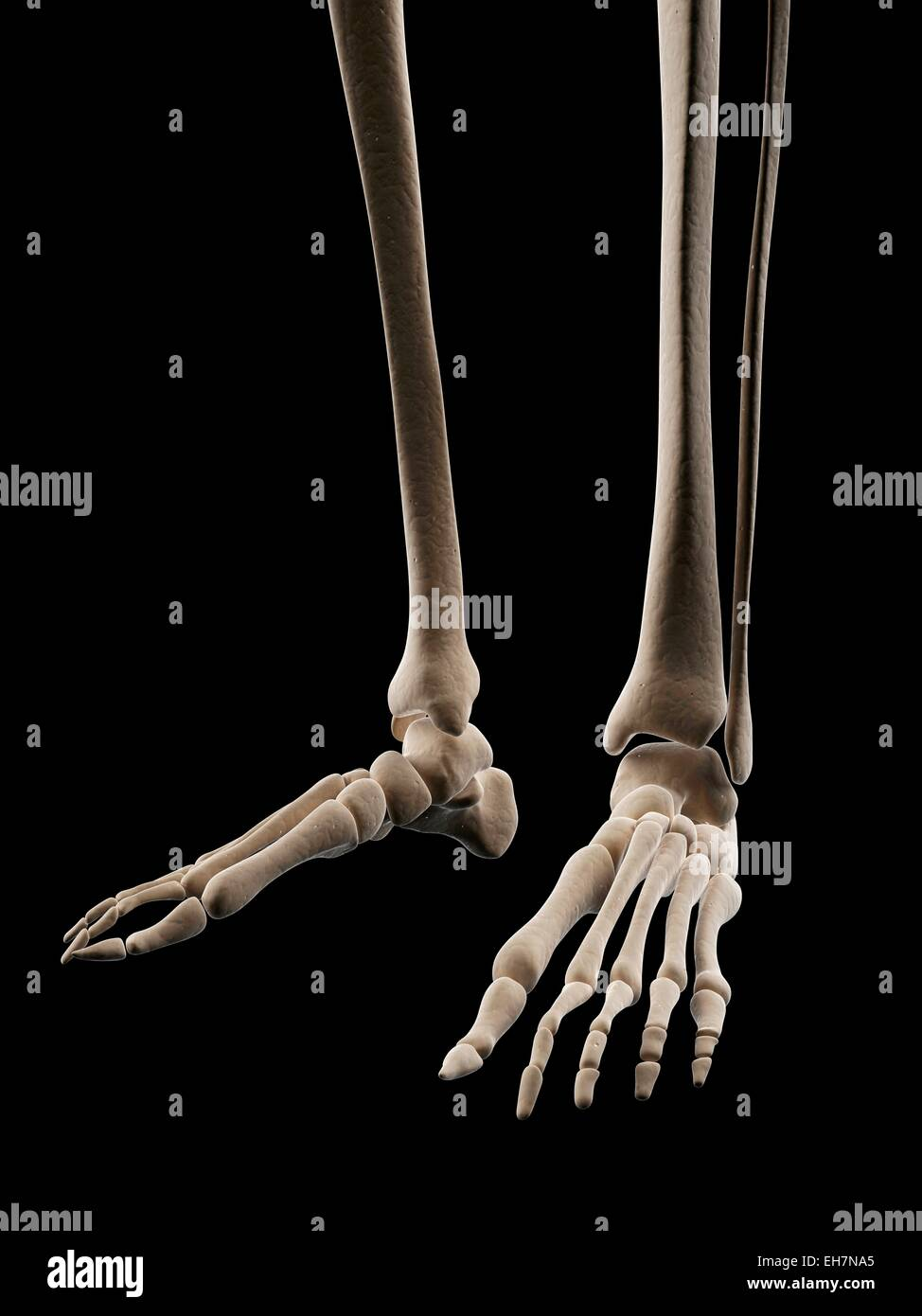 Human foot bones, illustration - Stock Image