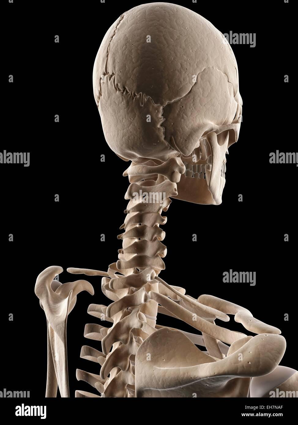 Human skull and neck bones illustration stock photo 79461047 alamy human skull and neck bones illustration ccuart Gallery