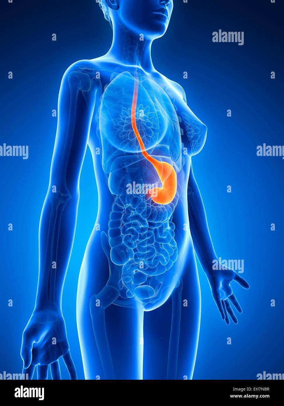 Anatomy Of Female Stomach Illustration Stock Photo 79461083 Alamy
