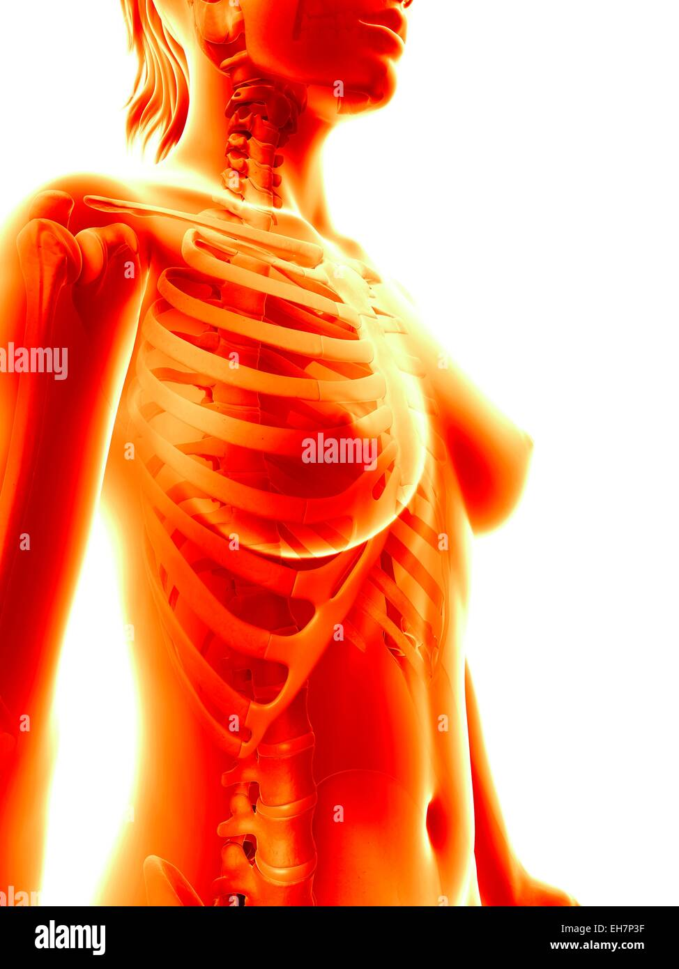 Female Ribcage Illustration Stock Photo 79461635 Alamy