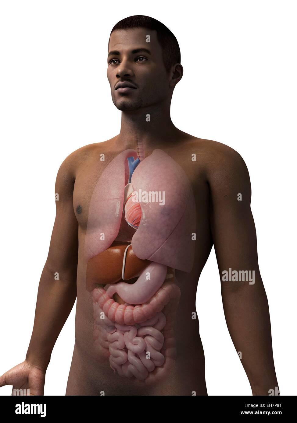 Male Internal Organs Stock Photos & Male Internal Organs Stock ...