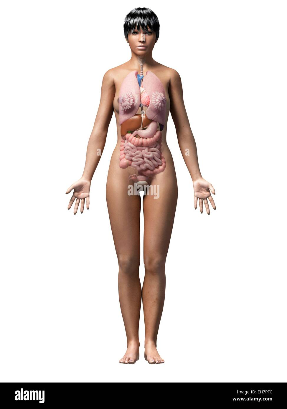 Female Internal Organs Illustration Stock Photos Female Internal