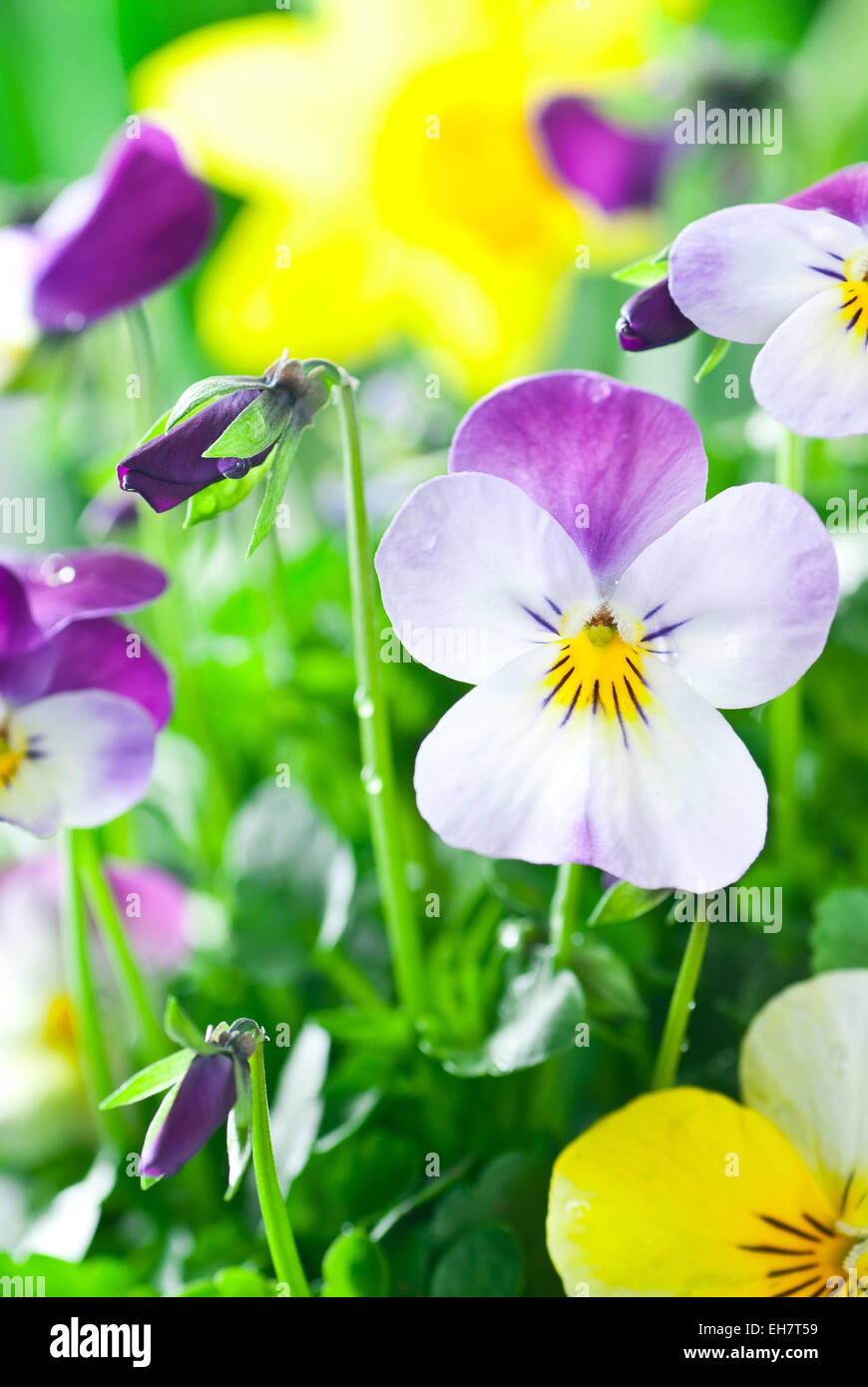 Purple and yellow pansies after the rain. - Stock Image
