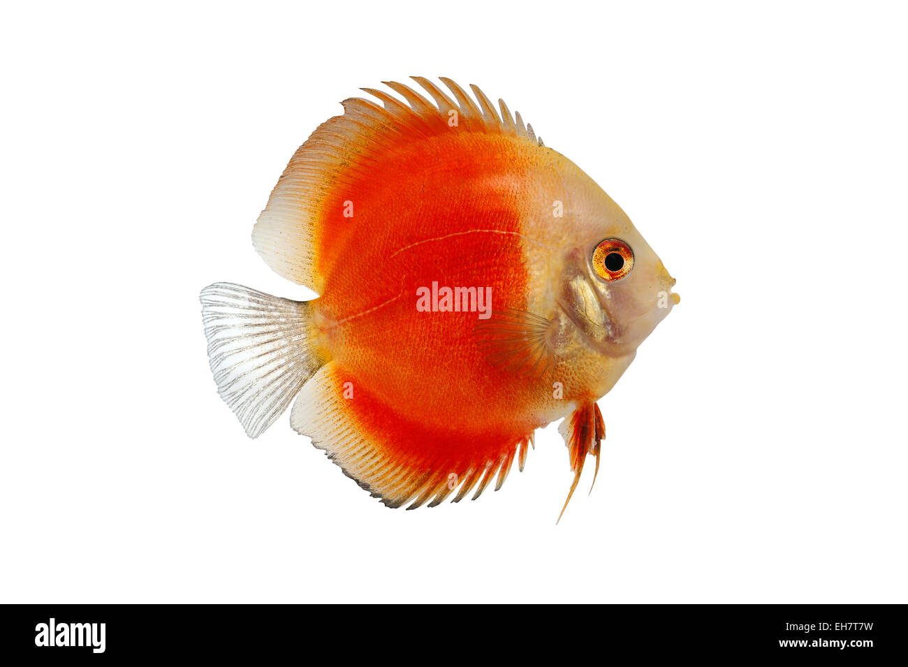 Discus Fish White Background Stock Photos & Discus Fish White ...