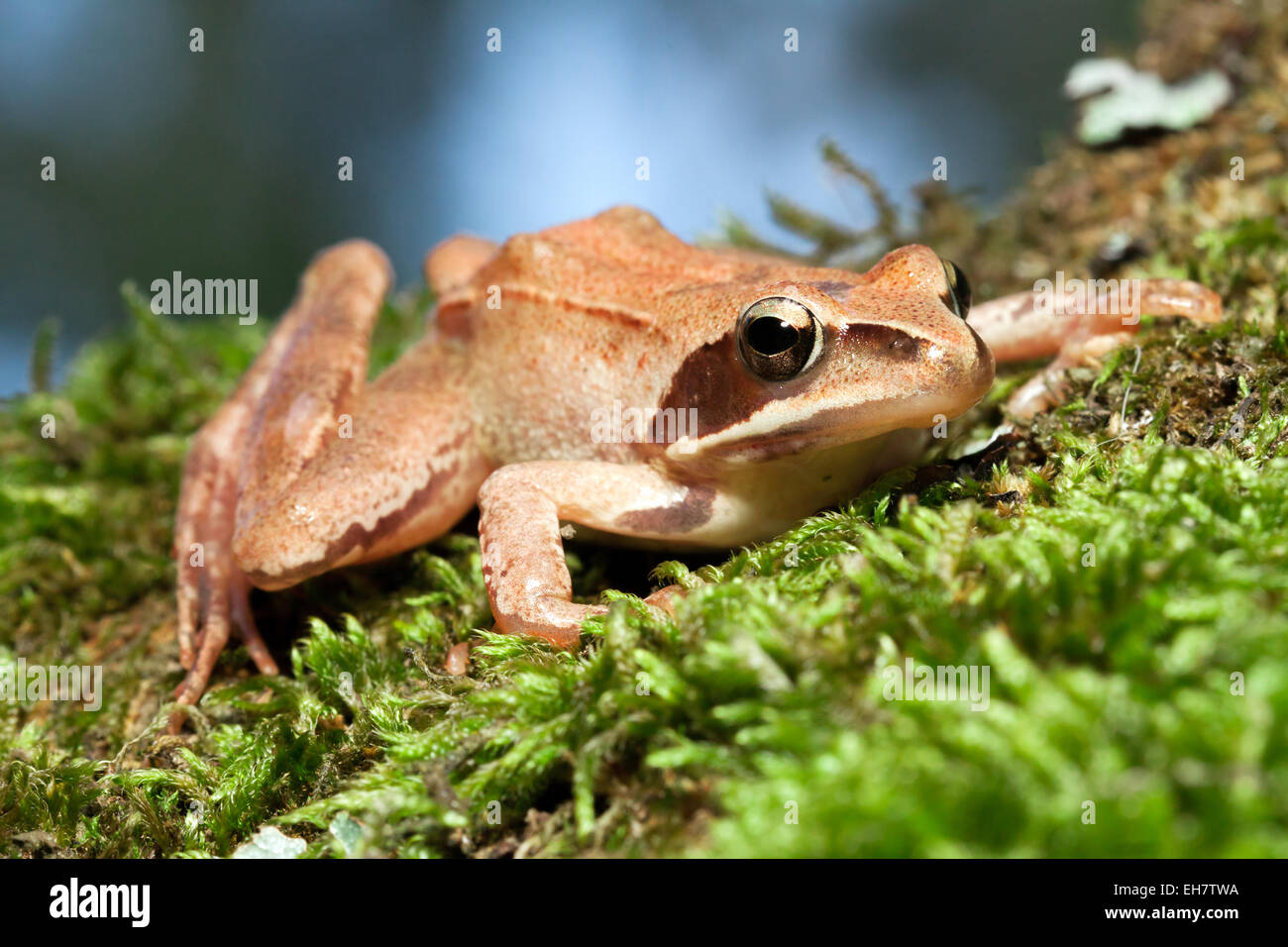 Rana Temporaria - Brown Frog on Green Moss - Stock Image