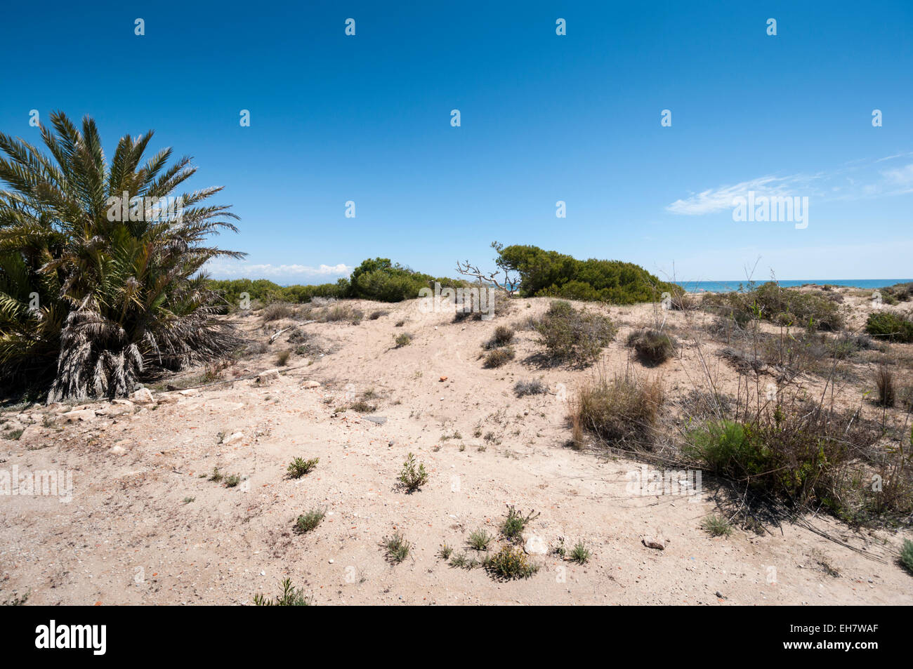 Aleppo Pine, Pinus halepensis, and palm trees growing in dunes in Carabassi beach - Stock Image