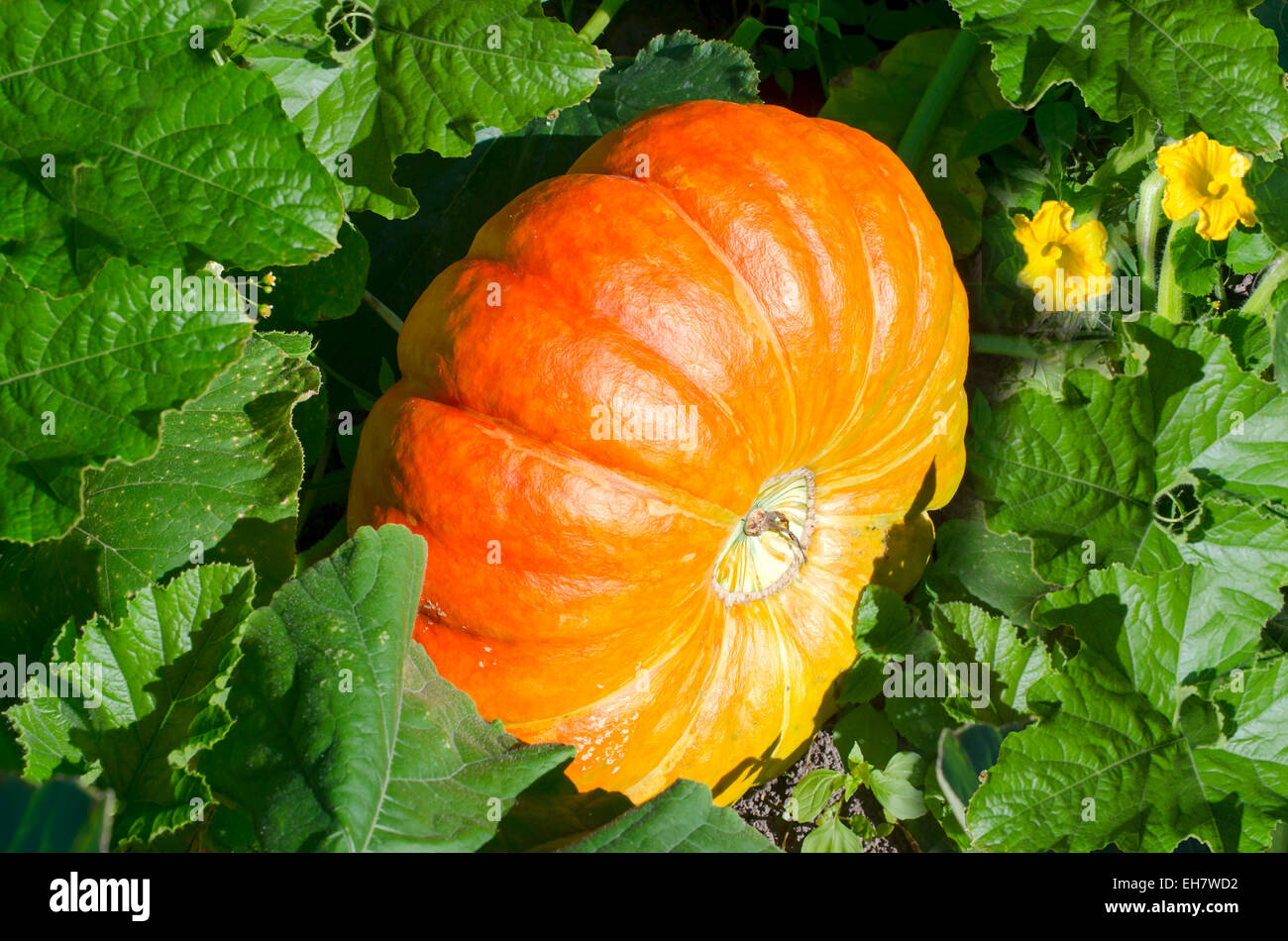 Big orange pumpkins growing in the garden - Stock Image