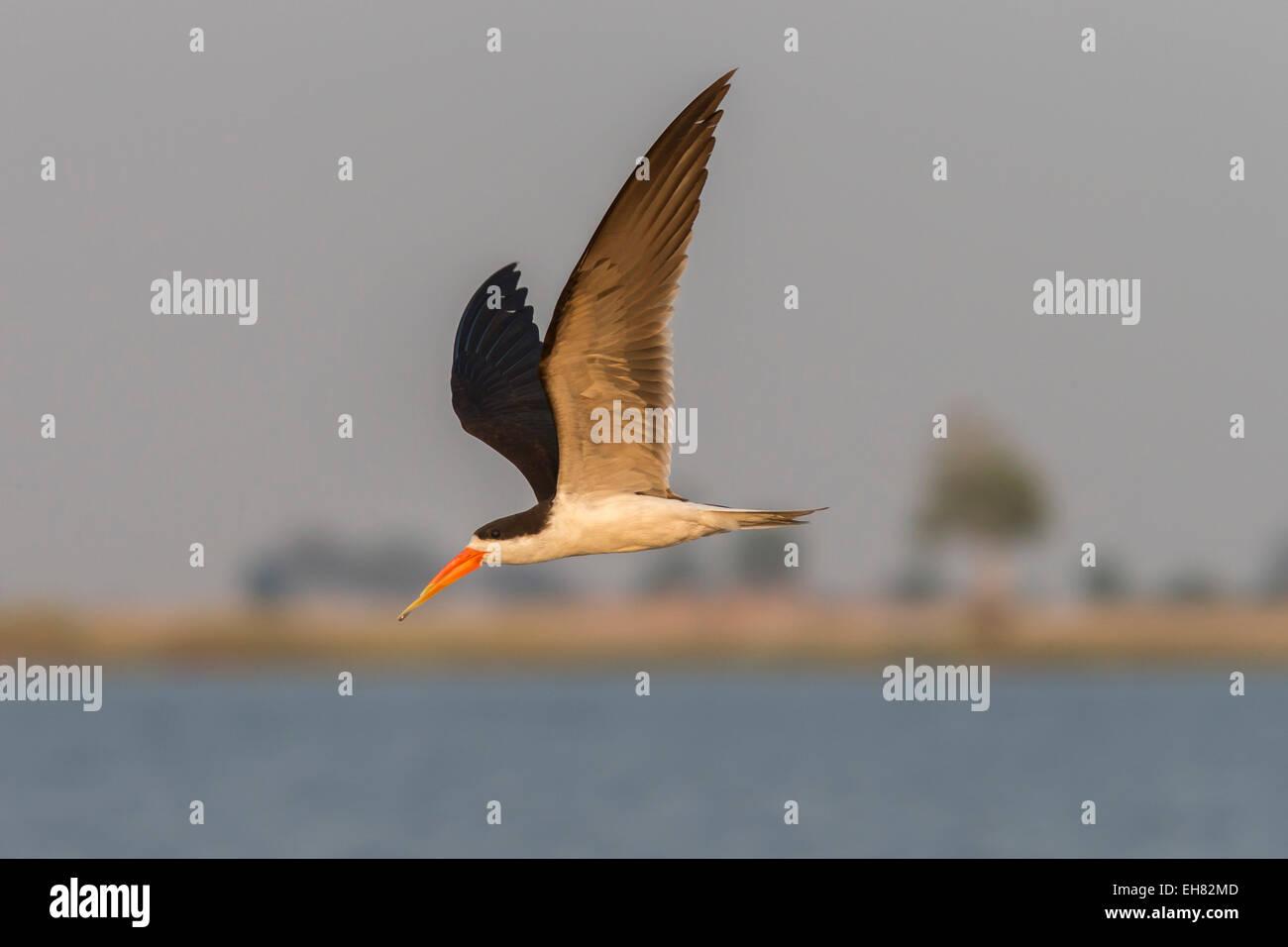 African skimmer (Rynchops flavirostris), in flight, Chobe National Park, Botswana, Africa - Stock Image