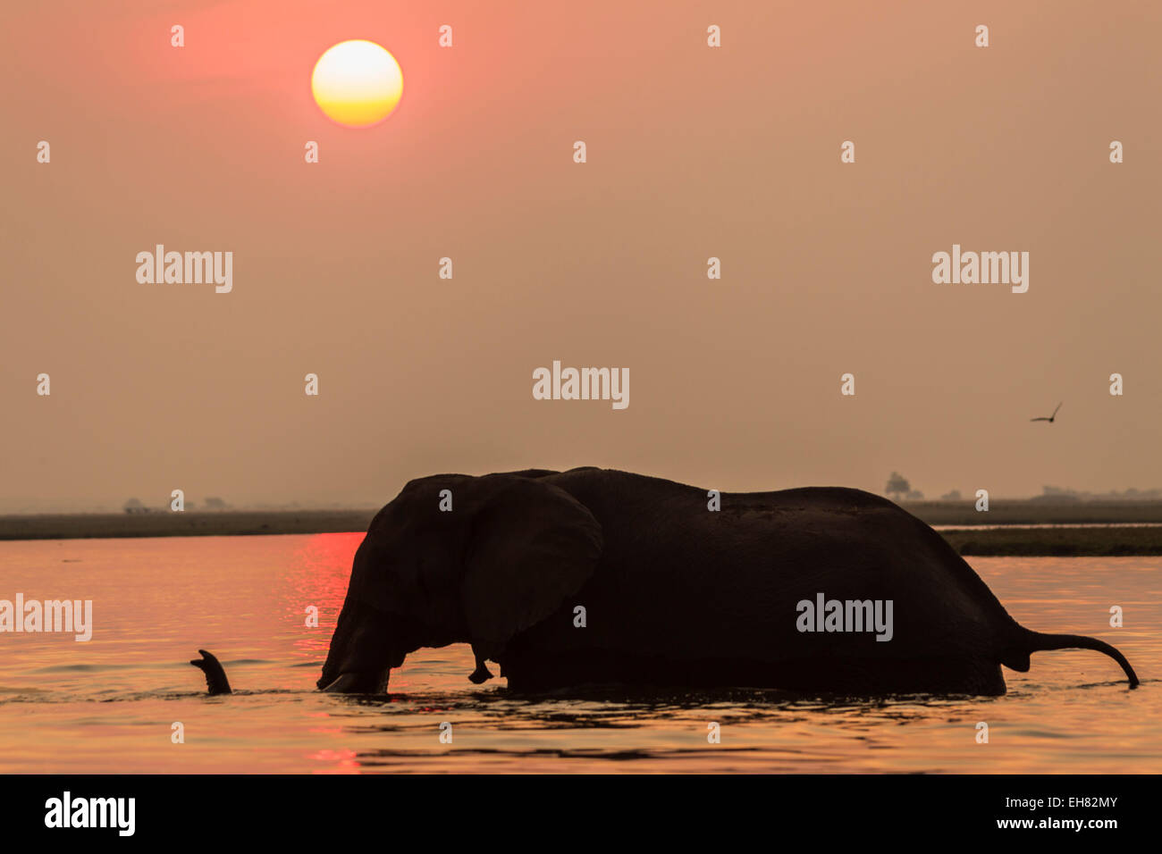 African elephant at sunset (Loxodonta africana), Chobe national park, Botswana, Africa - Stock Image