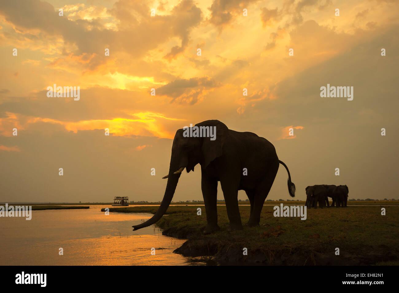 African elephant (Loxodonta africana) at dusk, Chobe National Park, Botswana, Africa Stock Photo