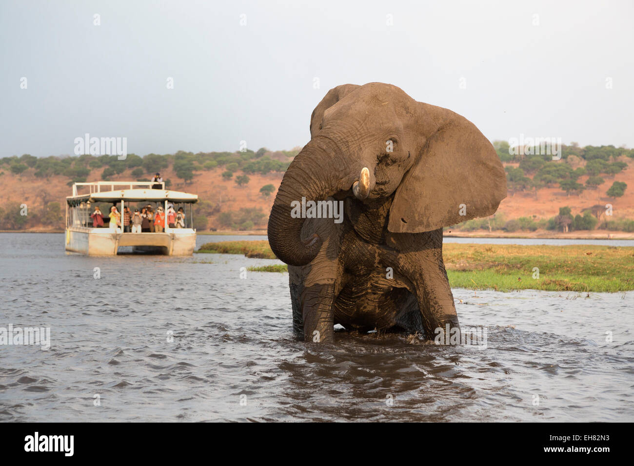 African elephant (Loxodonta africana) and tourists, Chobe National Park, Botswana, Africa - Stock Image