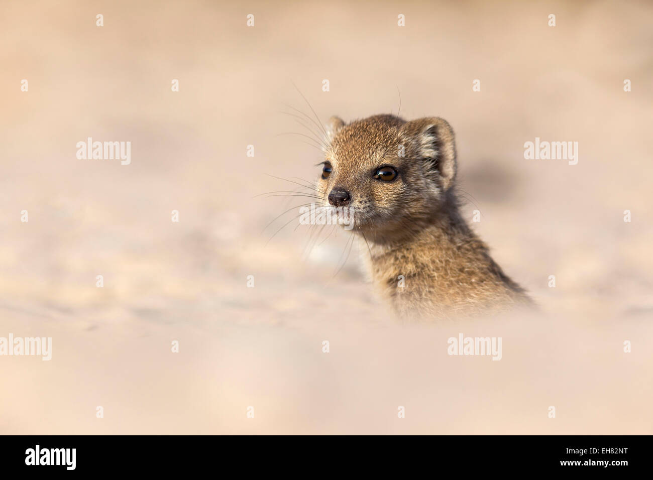 Yellow mongoose baby (Cynictis penicillata), Kgalagadi Transfrontier Park, Northern Cape, South Africa, Africa - Stock Image