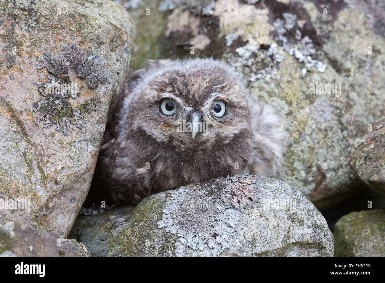 Little owl baby (Athene noctua), captive, United Kingdom, Europe - Stock Image