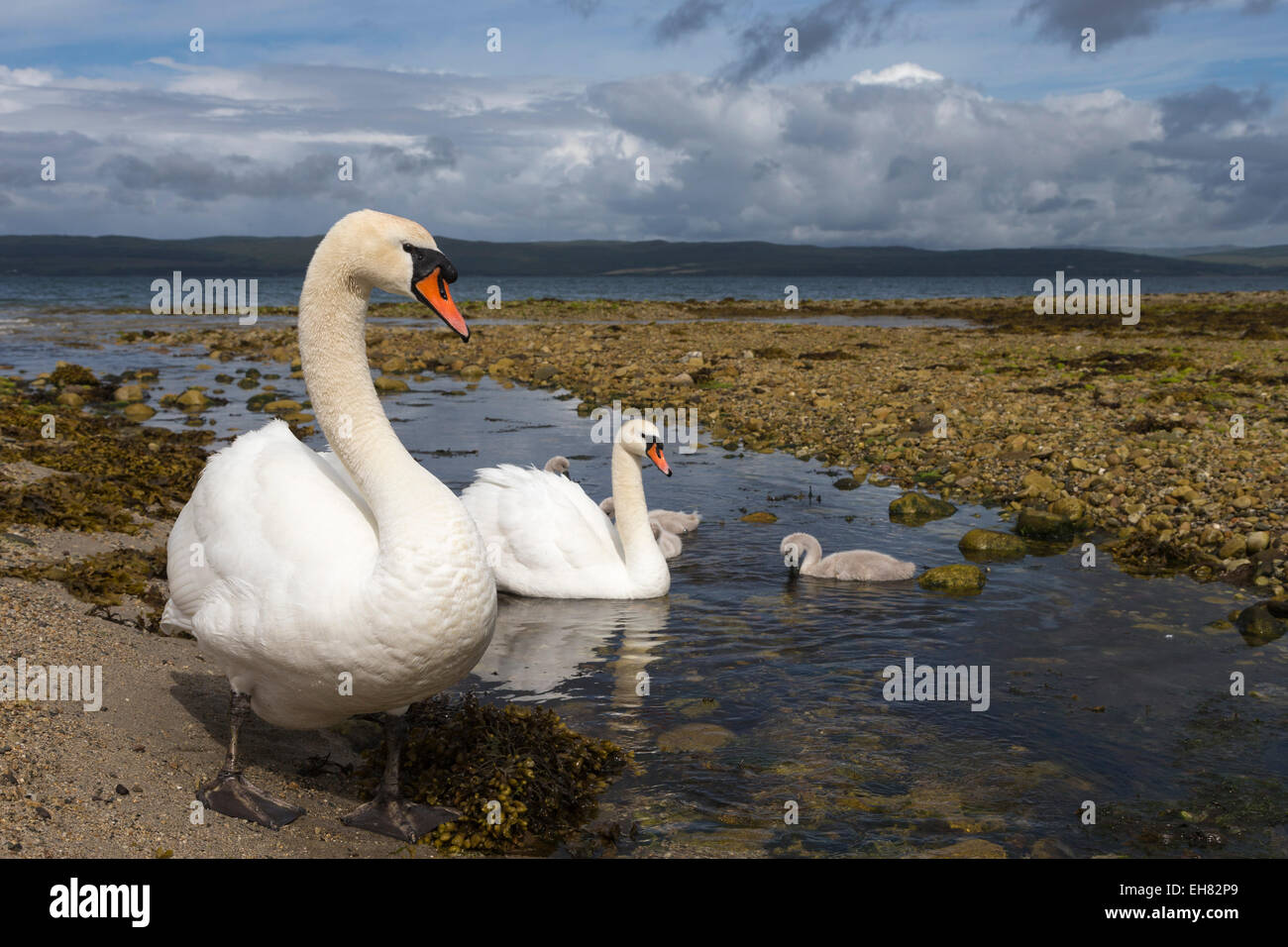 Mute swans (Cygnus olor) on seashore at freshwater stream mouth, Arran, Scotland, United Kingdom, Europe - Stock Image