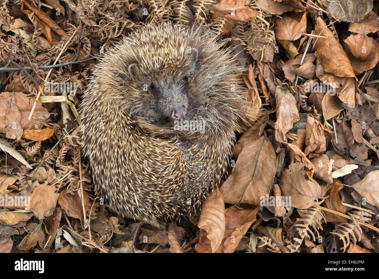 Hedgehog (Erinaceus europaeus) in autumn leaves, captive, United Kingdom, Europe - Stock Image