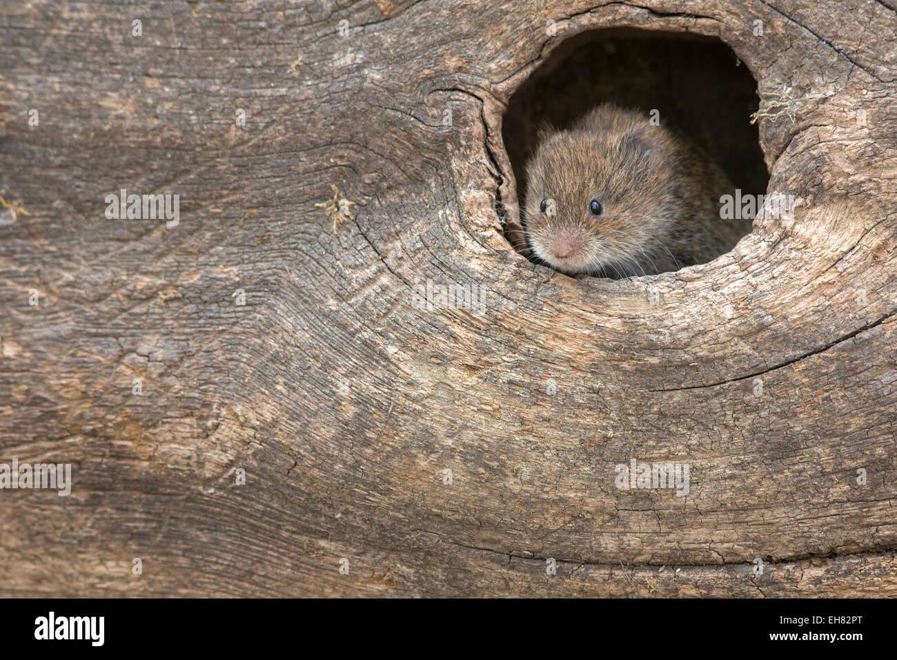 Field vole (Short-tailed vole) (Microtus agrestis), captive, United Kingdom, Europe - Stock Image