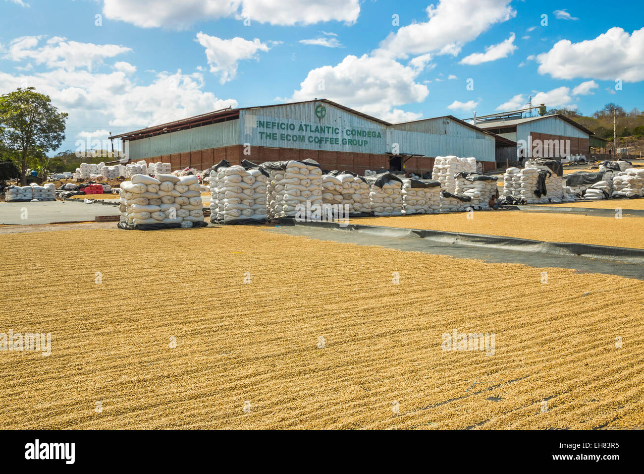 Coffee factory with sacks and beans drying in the sun, in an important growing region in the north west, Condega, - Stock Image