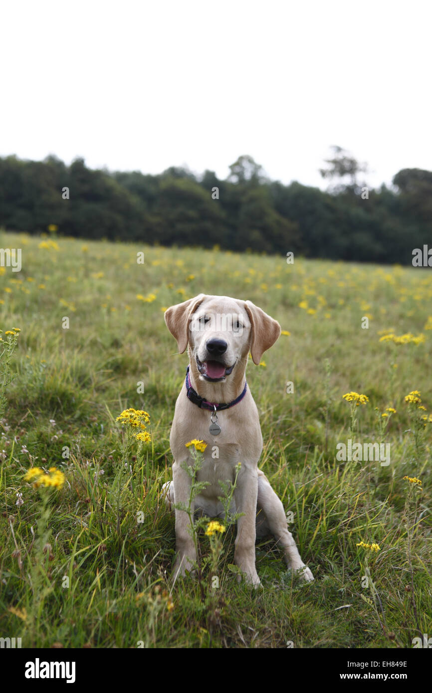 Yellow Labrador Retriever puppy at the age of 16 weeks / 4 months old out  for a walk in the countryside