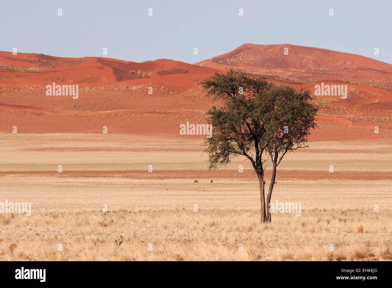 Camel Thorn tree (Vachellia erioloba) in the grassy steppe, dunes of the Namib Desert at the back, near road D707, - Stock Image