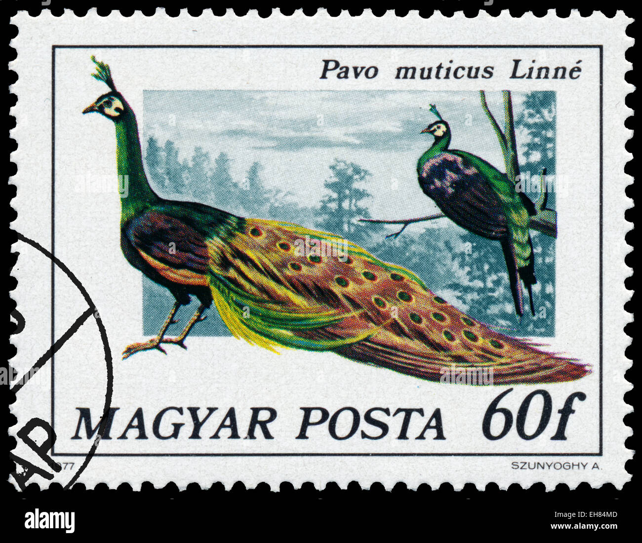 HUNGARY - CIRCA 1977: Stamp printed in Hungary shows Green peafowl - Pavo muticus Linne, series Peacock birds, circa - Stock Image
