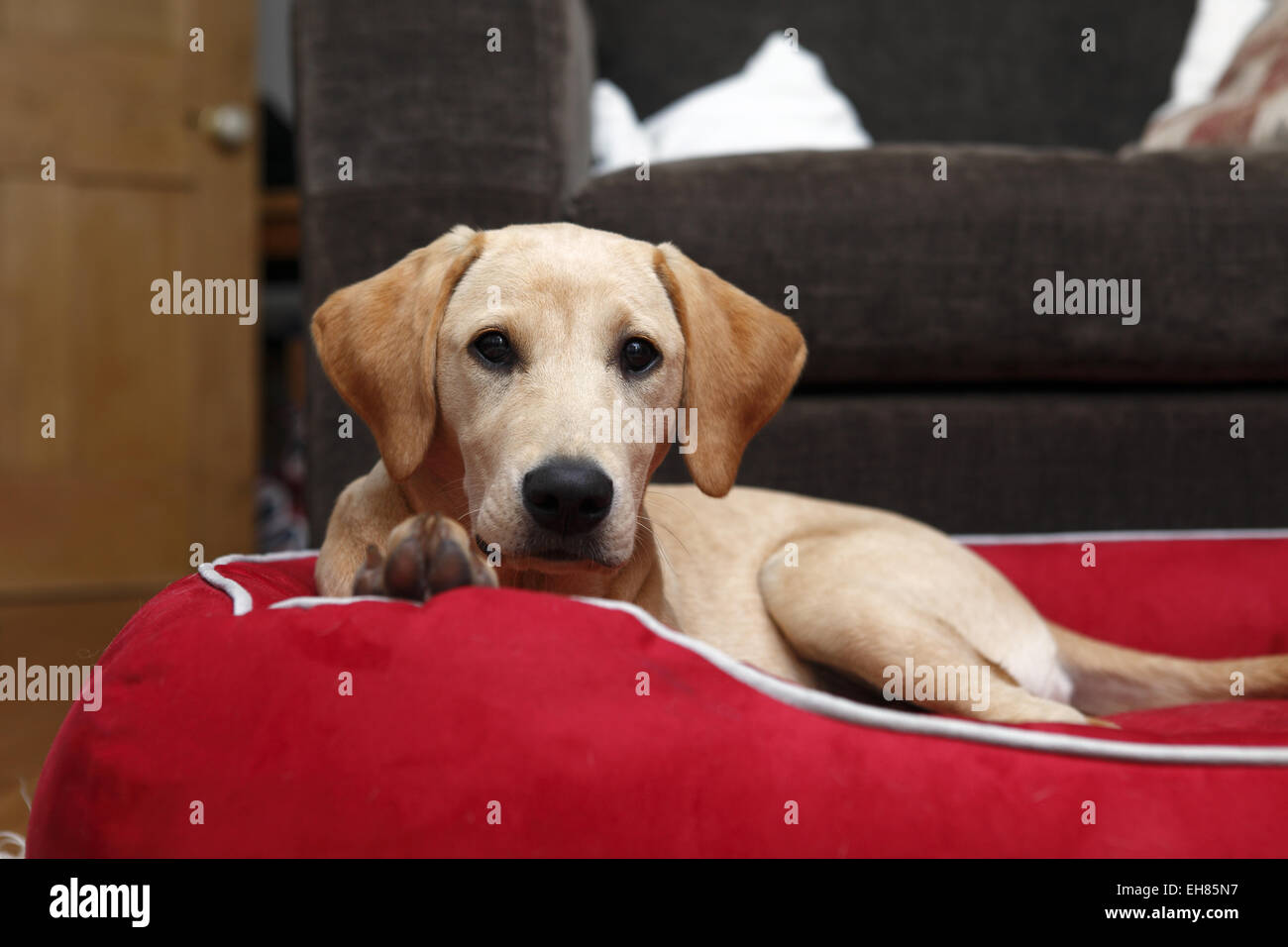 Yellow Labrador Retriever puppy aged 6 months old sleeping in new big bed that will grow into - Stock Image