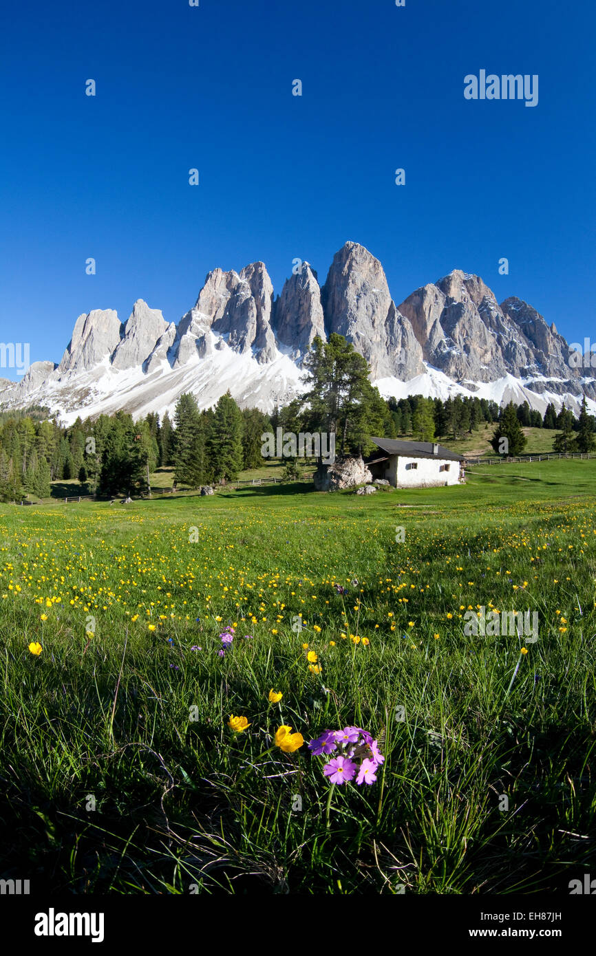 Spring flowers in the pastures of the Puez-Odle Nature Park in South Tyrol, Italy, Europe - Stock Image