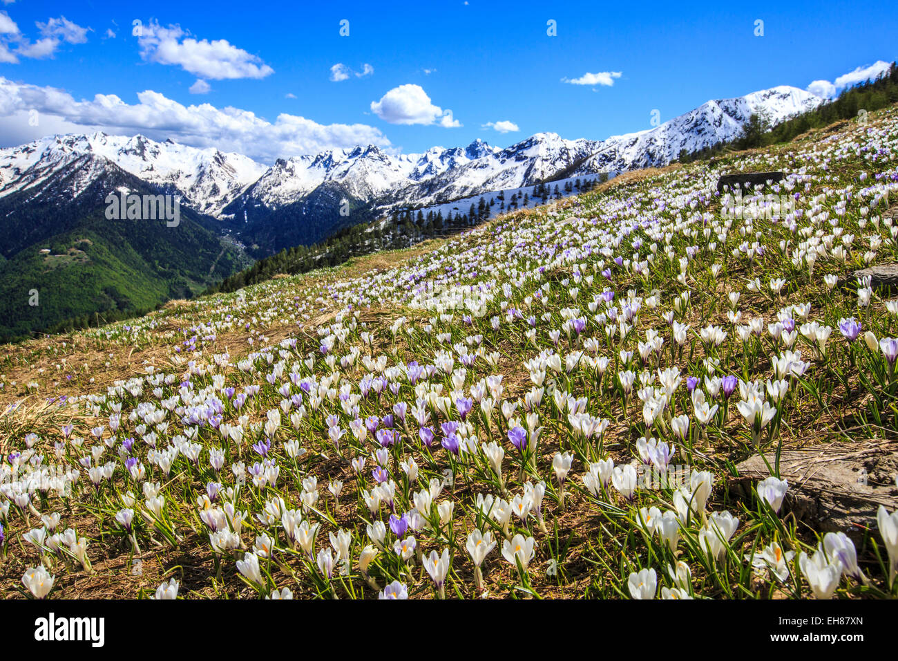 Crocus blooming on the pastures surrounding Cima Rosetta in the Orobie Alps, Lombardy, Italy, Europe - Stock Image