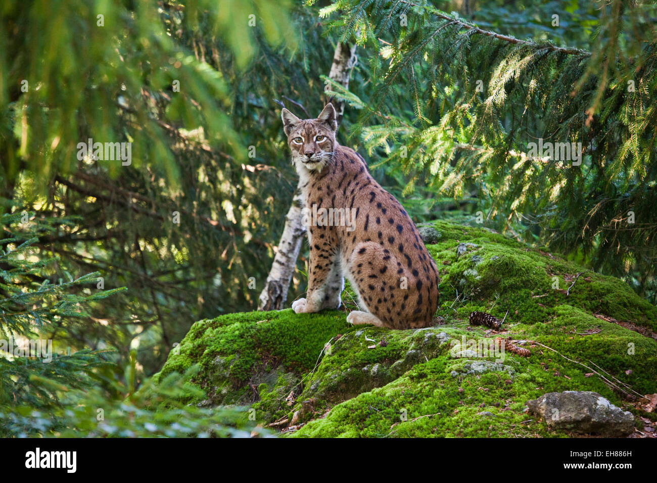 A lynx in the Bavarian National Park, Bavaria, Germany, Europe - Stock Image
