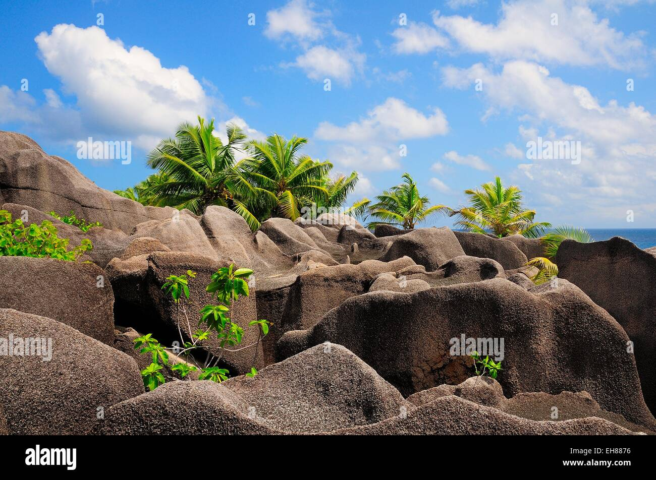 Palm trees growing between the granites rocks, La Digue Island, La Digue and Inner Islands, Seychelles - Stock Image