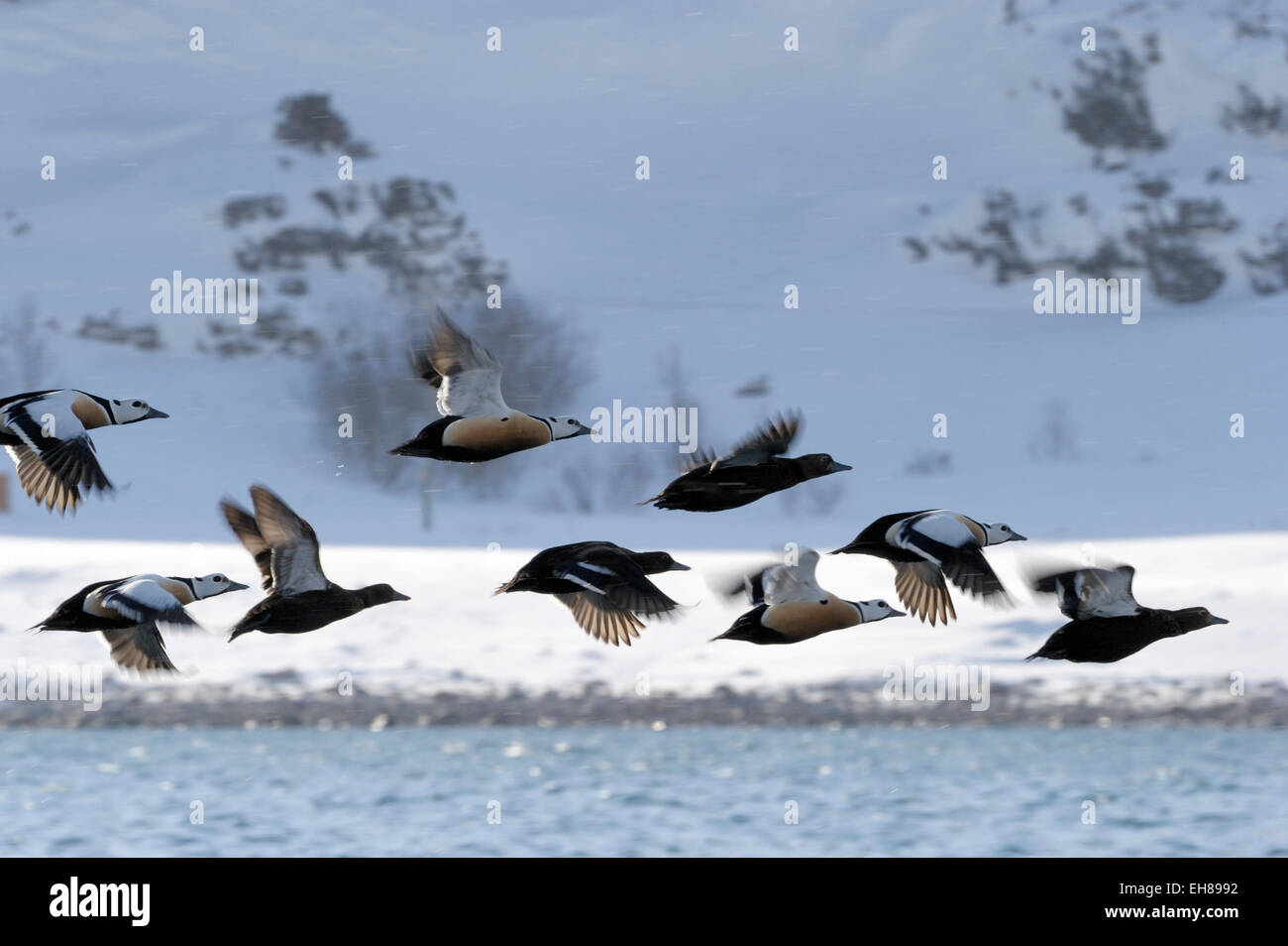 Group of Steller's Eider (Polysticta stelleri) flying with snow covered mountain in background, Vadsö, Varanger Stock Photo