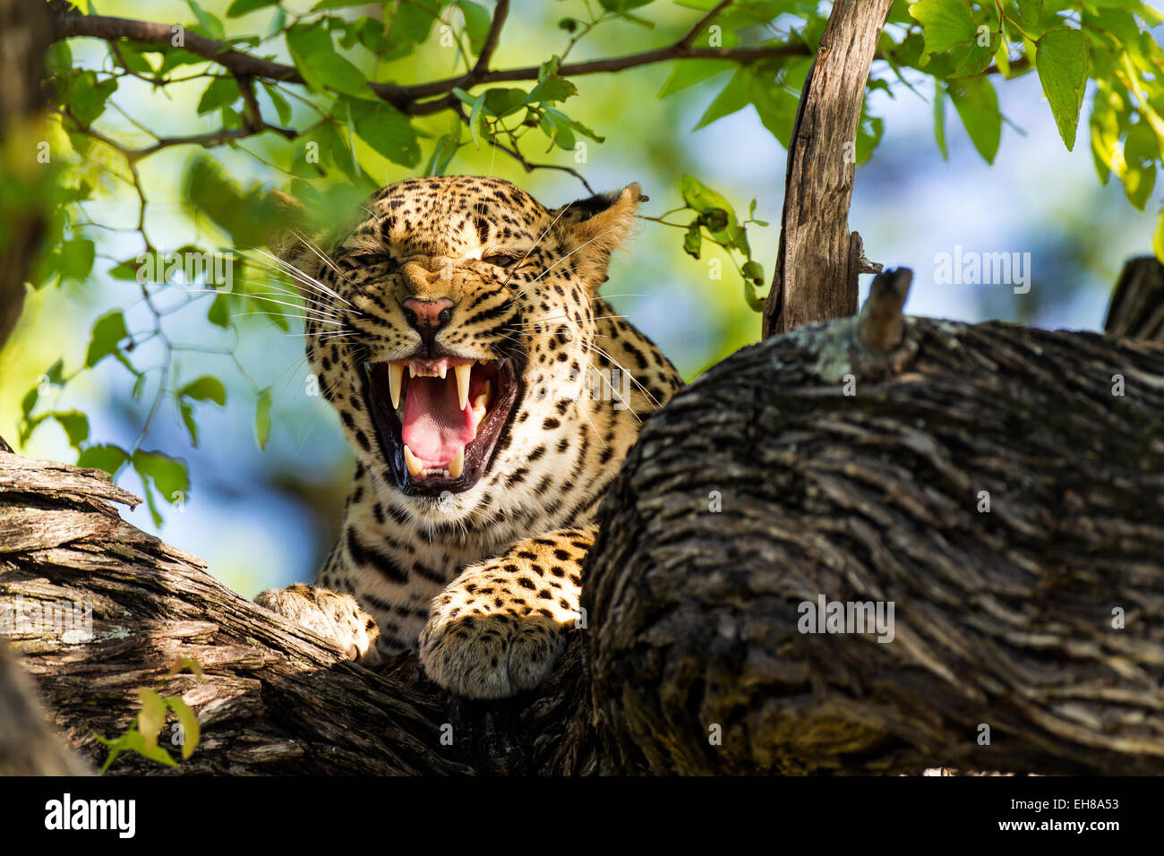 A leopard snarling at the camera - Stock Image