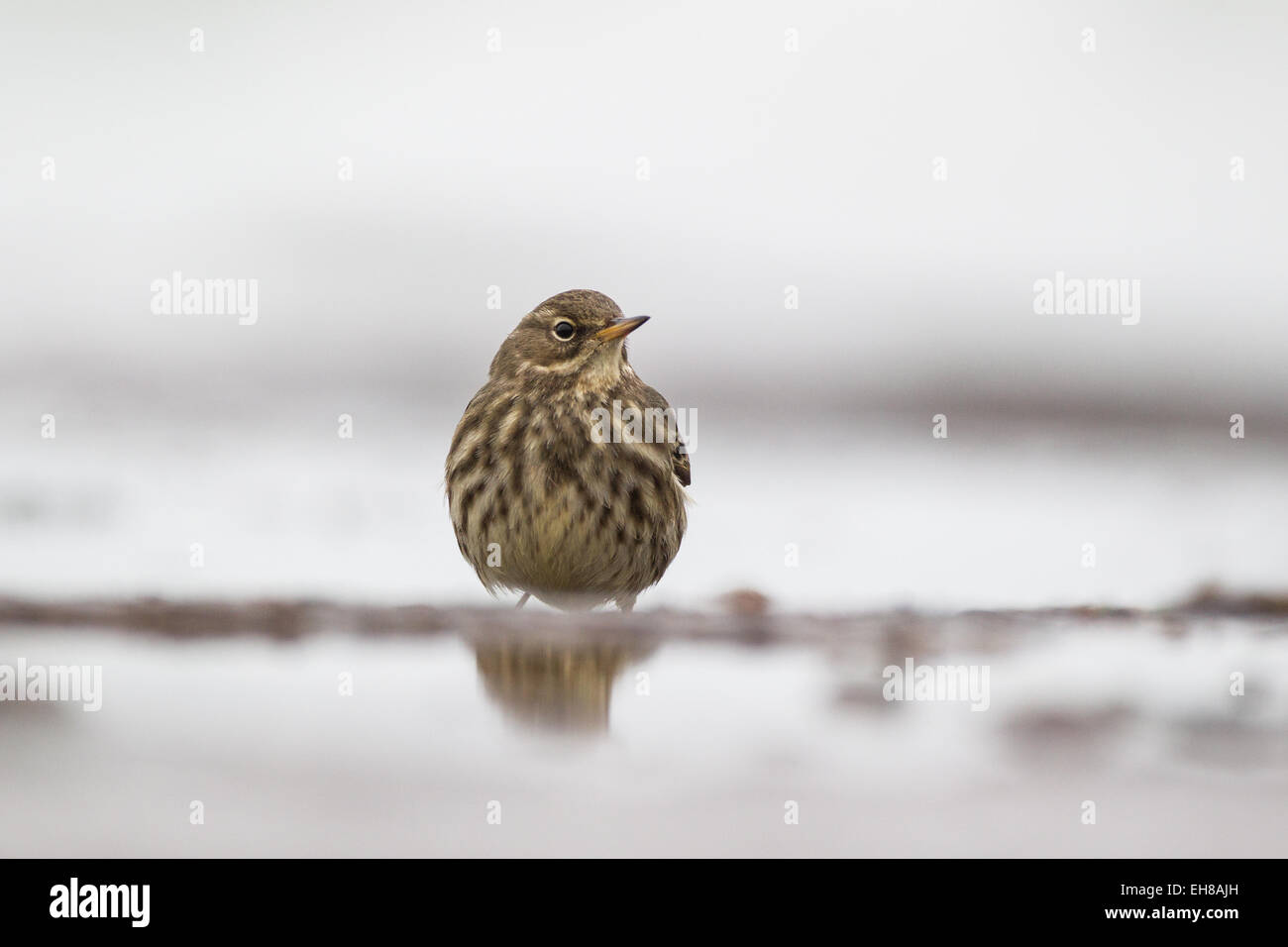 The Eurasian rock pipit (Anthus petrosus) a small passerine bird, which breeds on rocky coasts. - Stock Image