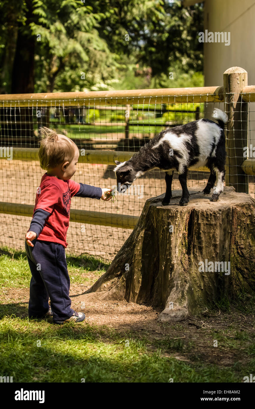 Boy feeding a Nigerian Pygmy goat kid at Fox Hollow Farm near Issaquah, Washington, USA. - Stock Image