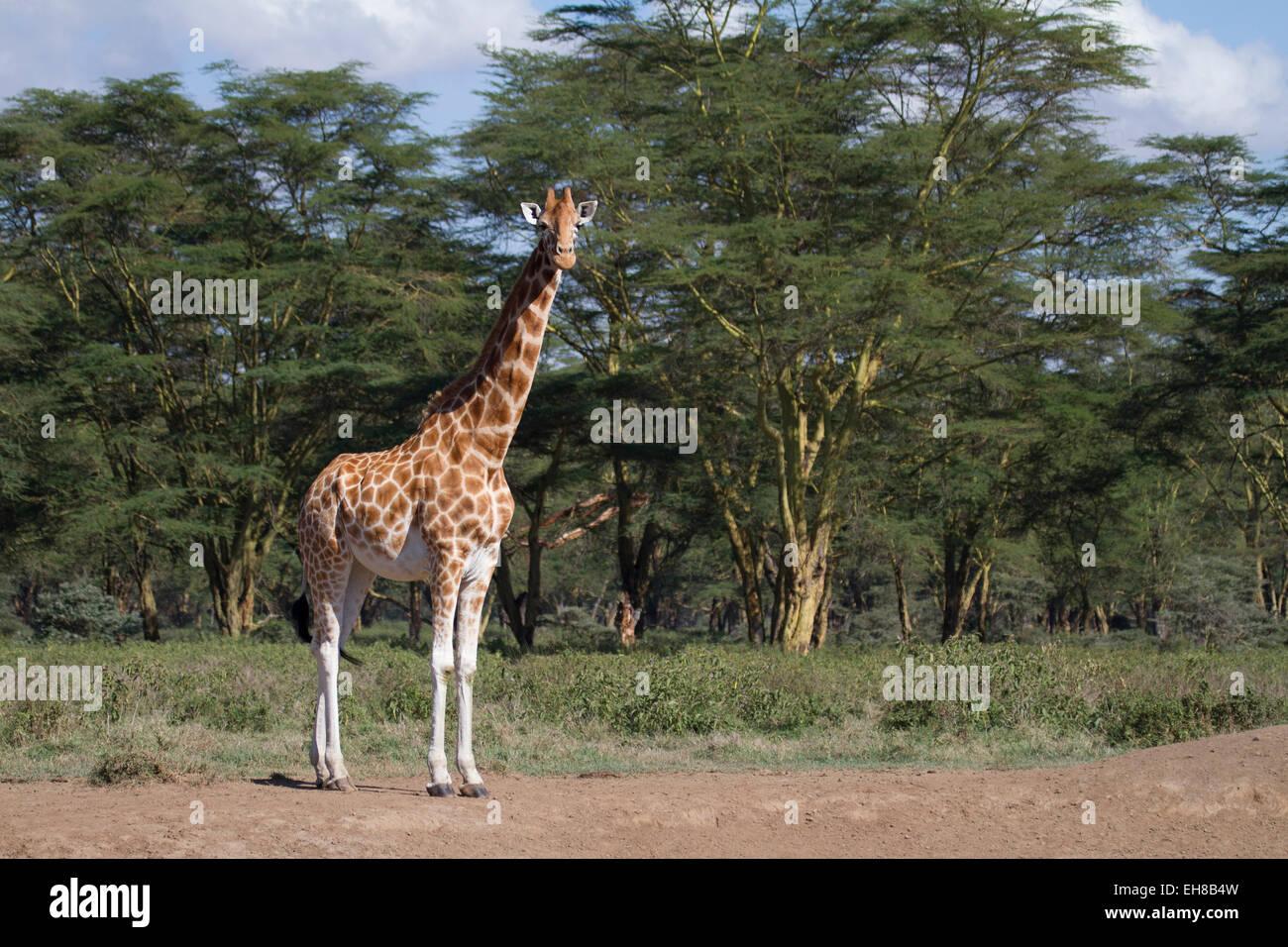 Rothschild's giraffe (Giraffa camelopardalis rothschildi) - Stock Image