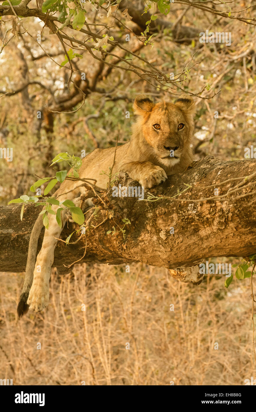 Approximately two year old male lion resting in a tree in Lower Zambezi National Park, Zambia, Africa - Stock Image