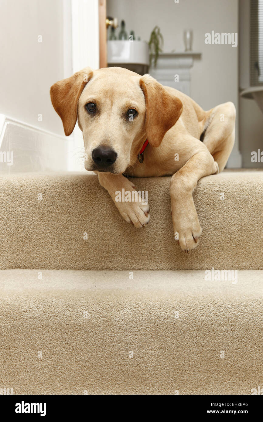 yellow labrador retriever puppy aged 8 months sat at top of stairs