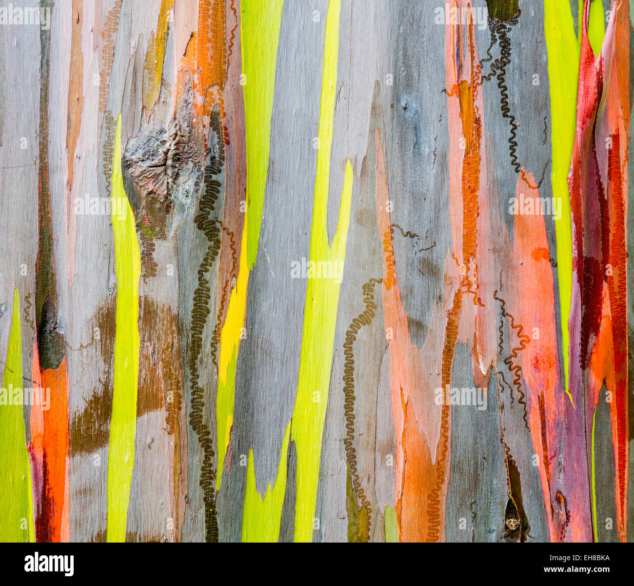Wood texture - Colourful bark and tree trunk of the Rainbow Eucalyptus tree at Keahua Arboretum in Kauai, Hawaii, Stock Photo